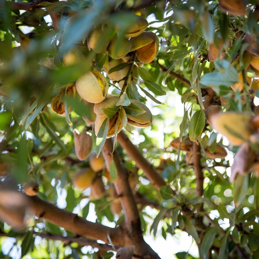 australian-almonds-almonds-on-tree-900px